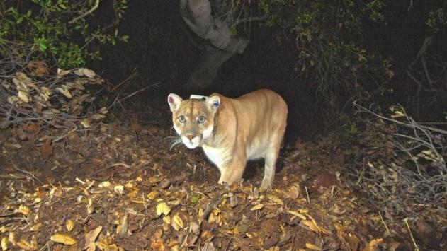 The mountain lion known as P-22, fitted with a GPS collar, is caught on camera on Griffith park. (National Park Service)