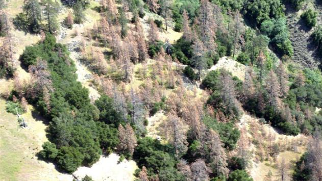 Pine trees in the Monterey Ranger District of the Los Padres National Forest. Photo credit: U.S. Forest Service