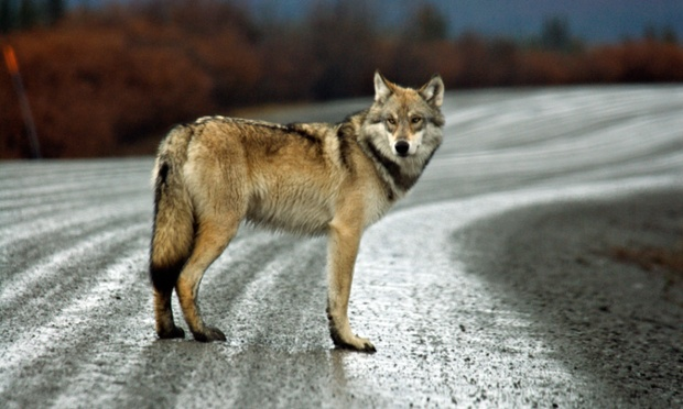 Wolf USA America United States North America Alaska Denali national park Gray Wolf wolf animal Canis Photograph: Alamy