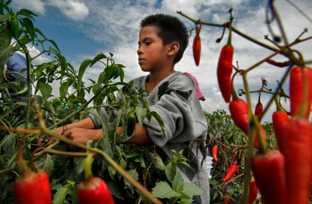 Pedro Vasquez, working the chile pepper fields near Leon, Guanajuato, is one of the estimated 100,000 Mexican children younger than 14 who pick crops for pay, according to the government's most recent estimate. He is 9 years old.