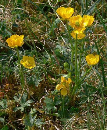 English: Carinthian buttercup - Ranunculus carinthiacus