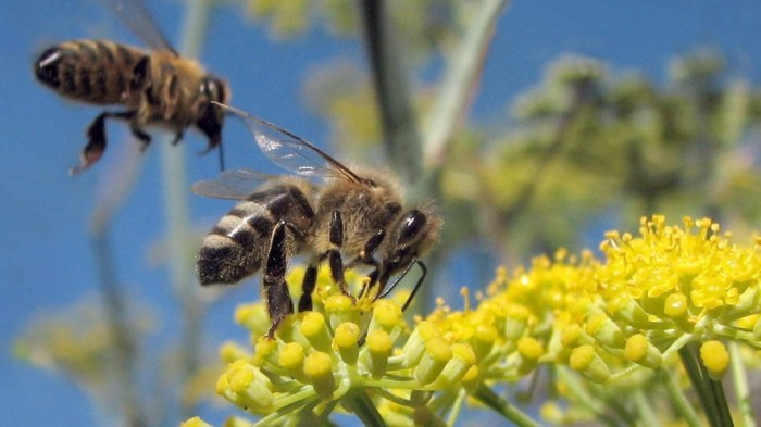 Honeybees (Apis mellifera) on wild fennel, Albany, California. Photo credit Jack Wolf via Grist