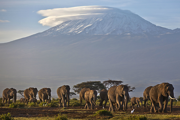 Adult and baby elephants walk in the dawn light, as the highest mountain in Africa, Mount Kilimanjaro, is seen in the background. A Chinese woman has been charged in a Tanzanian court with smuggling nearly 1.9 tons of ivory.