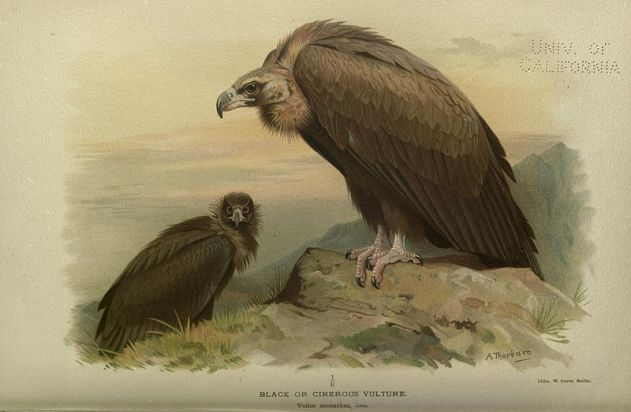 800px-Black_or_Cinerous_Vulture_ornithologyofstr00irbyrich_0168